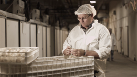 Worker caring for chicks at a hatchery
